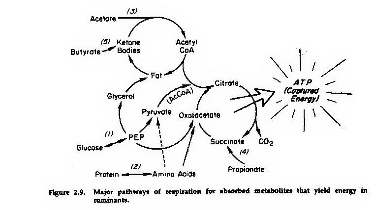 propionate in ruminants